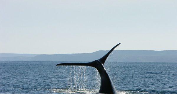 baleines dans le détroit de Magellan au Chili