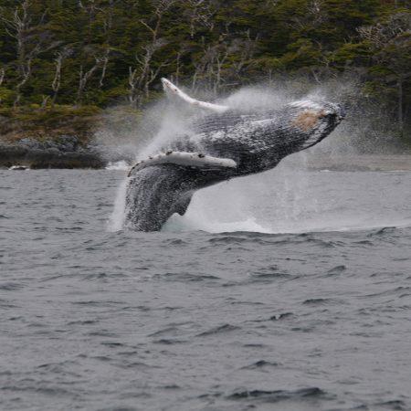 baleine à bosse sud Patagonie