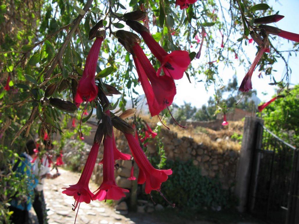 fleur de kantuta, Pérou
