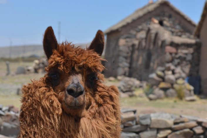 alpaga sur l'altiplano , Sillustani, Pérou
