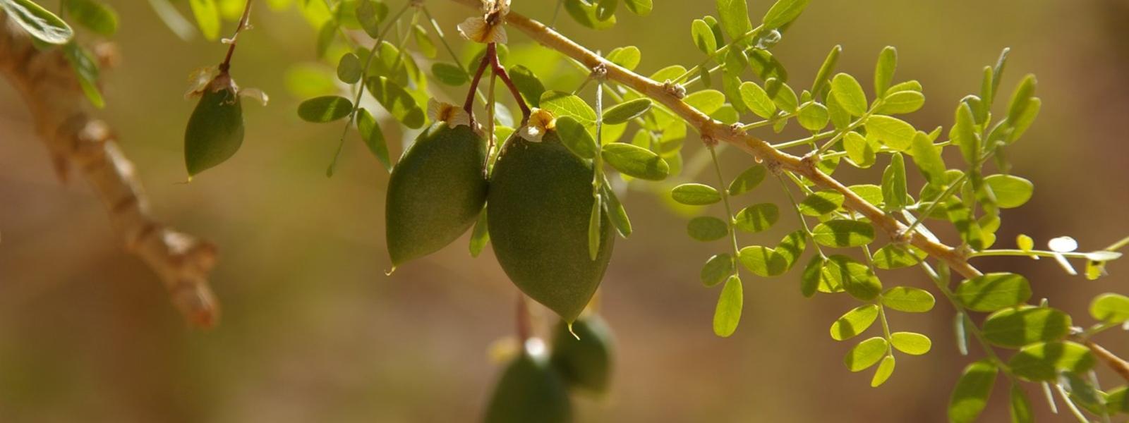 flore du Chili Nord. fruit du chañar
