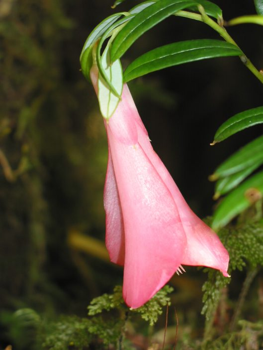 copihue, fleur du Chili, forêt pluviale tempérée
