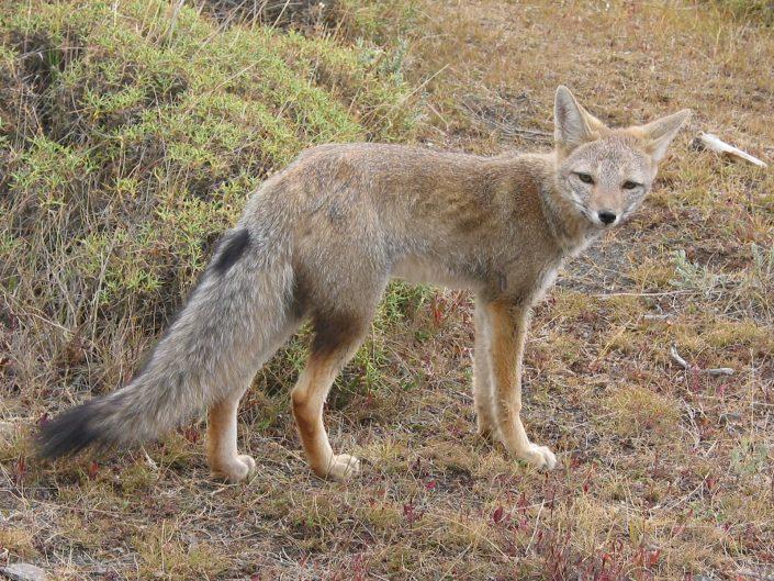 faune, Patagonie