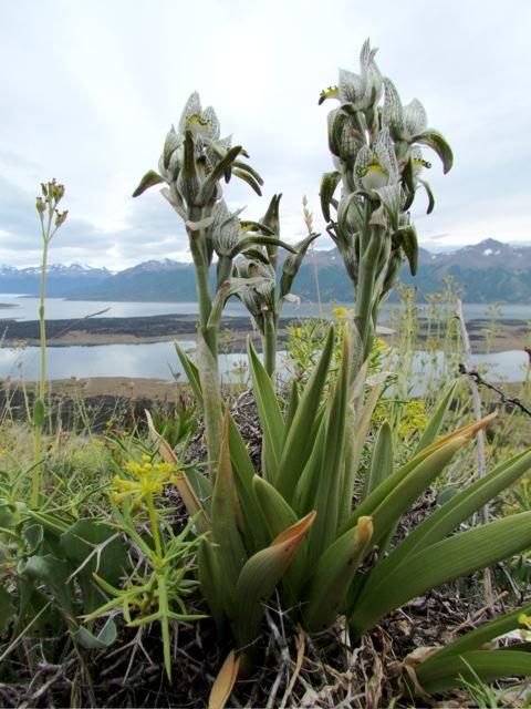 orchidées et lac Roca Patagonie argentine