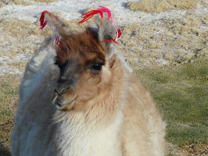 lama sur l'altiplano