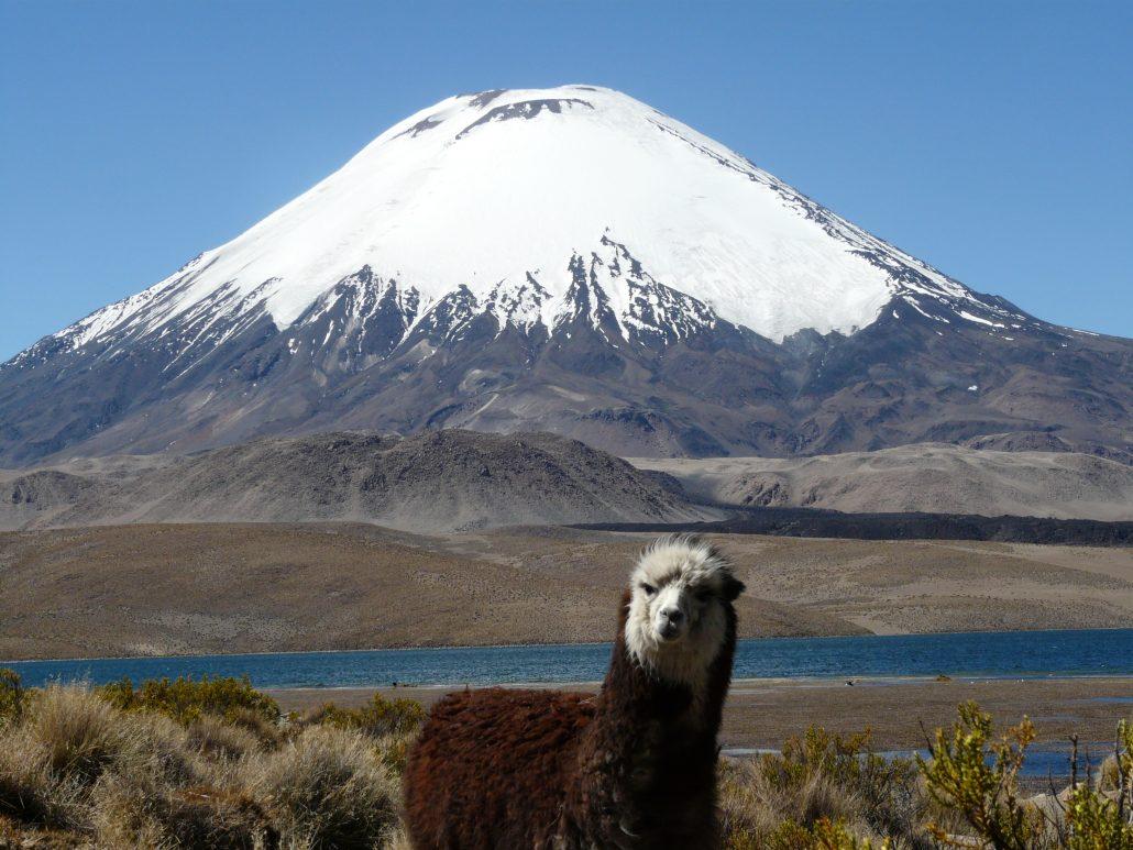 Alpaga, lac Chungara et volcan Parinacota
