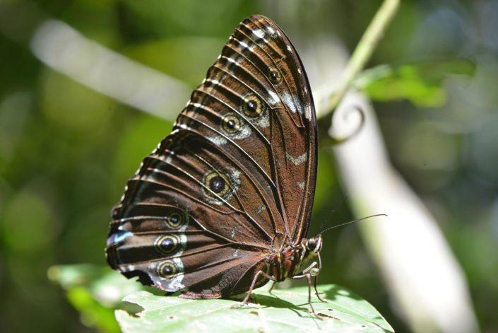 papillon Amazonie péruvienne