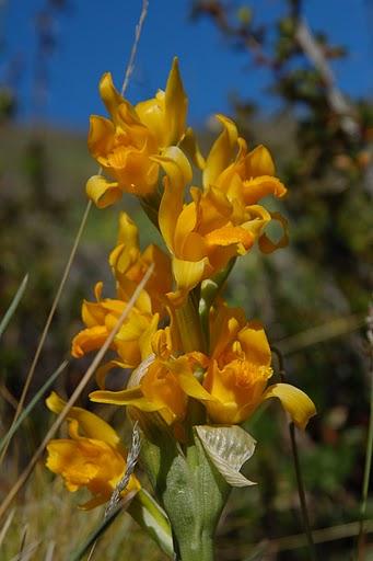 flore de patagonie, orchidée chloraera alpina