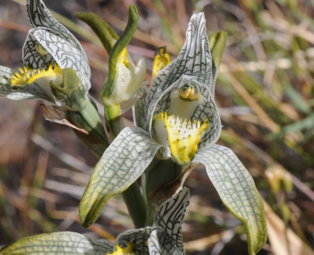 orchidée, Patagonie