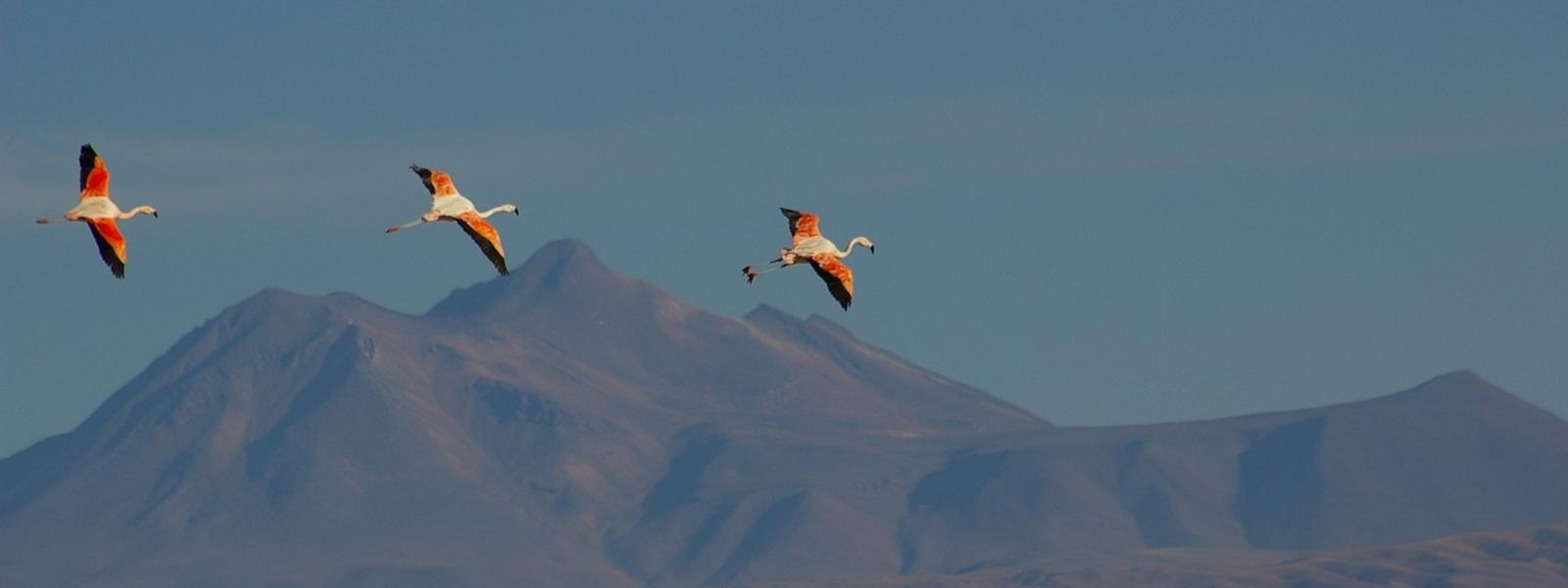 flamants en vol sur fonds de cordillère des Andes