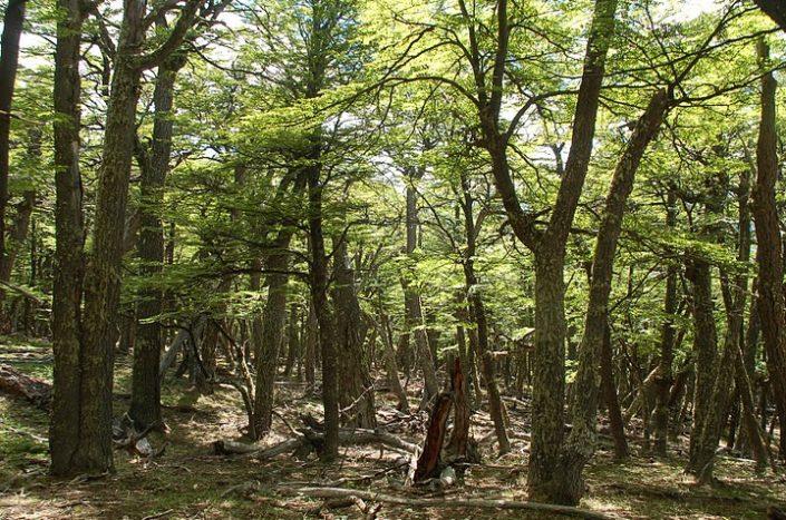 forêt de Patagonie