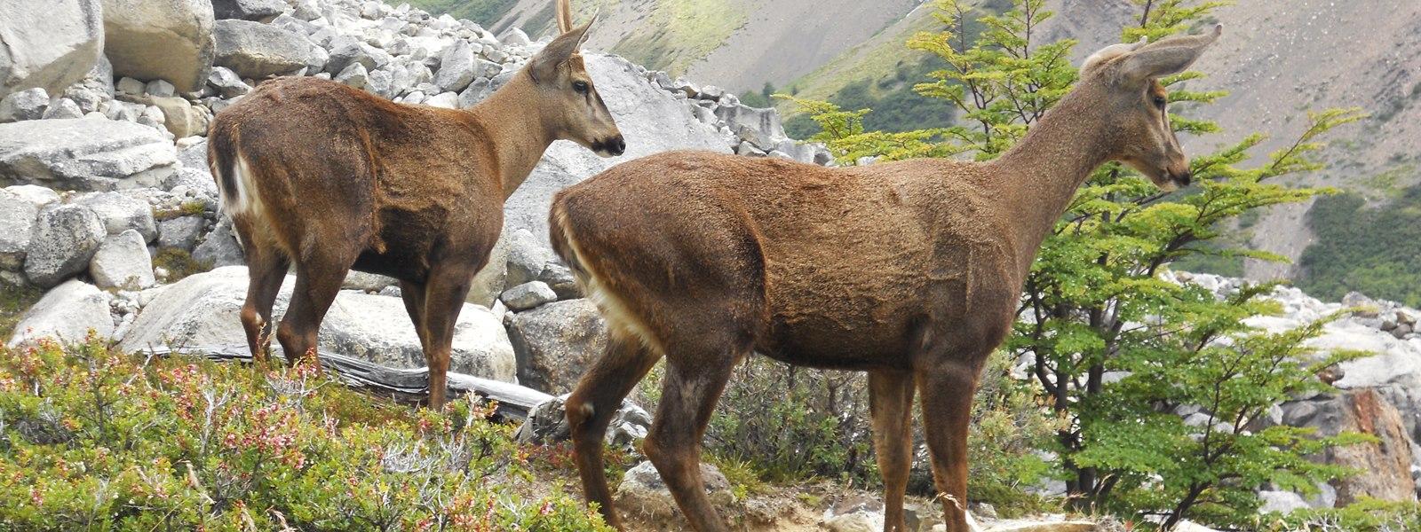 huemules, Patagonie chilienne