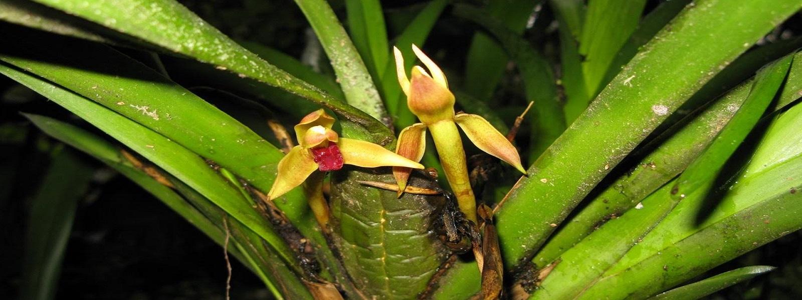 orchidées du Pérou, Amazonie