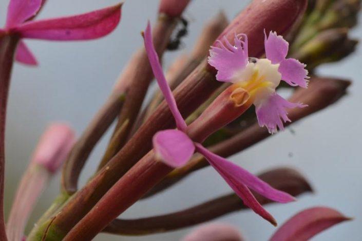 orchidée wiñay wayna Pérou