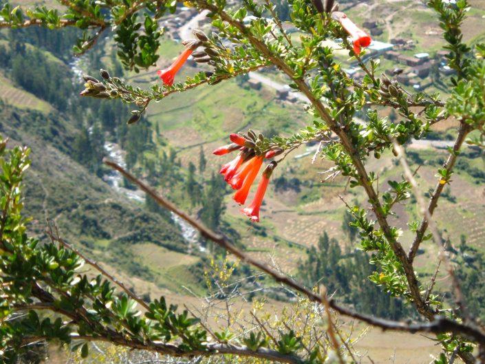 fleur de cantuta, site de Tipon