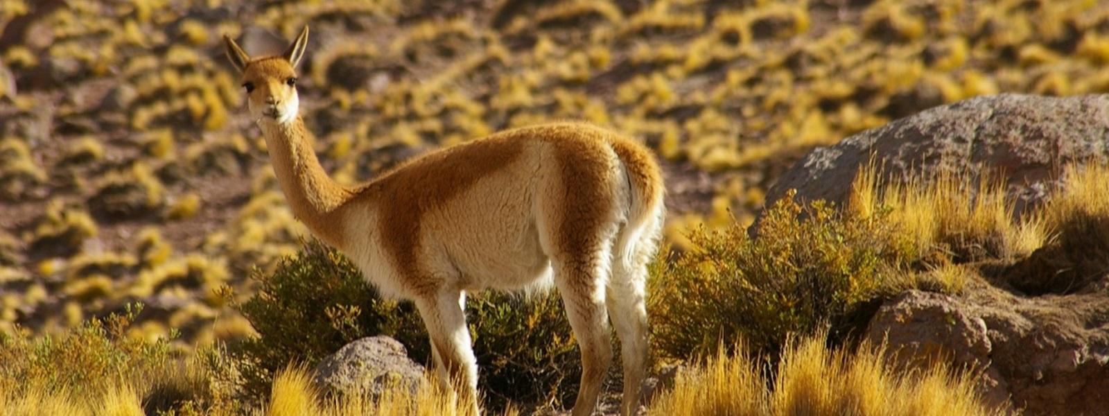 vigogne, Chili Nord