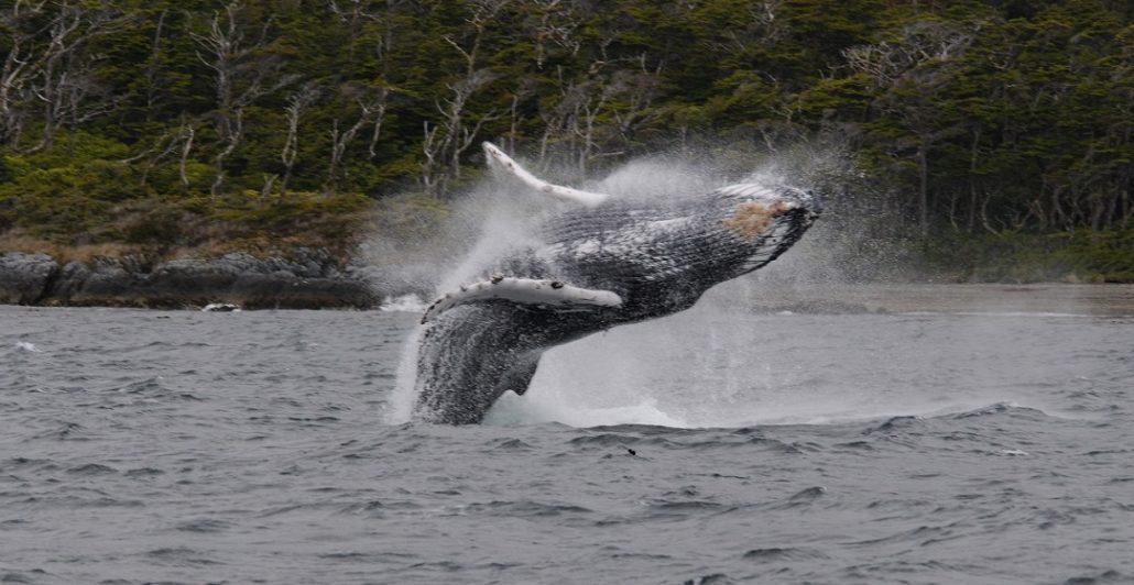 Baleine dans le parc marin Francisco Coloane