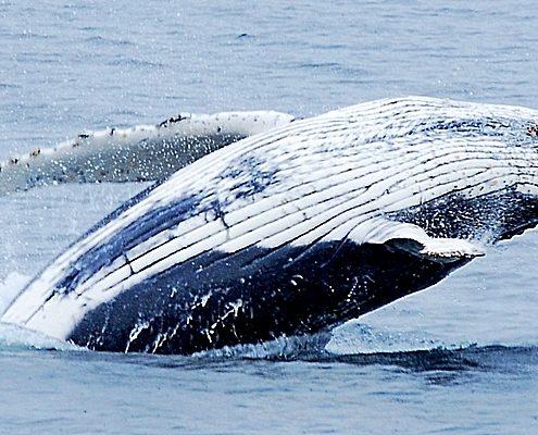 baleine dans les fjords chiliens