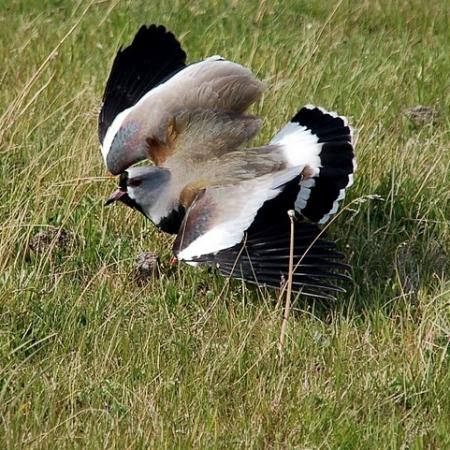 Vanellus chilensis-southern lapwing-queltehue-vanneau téro