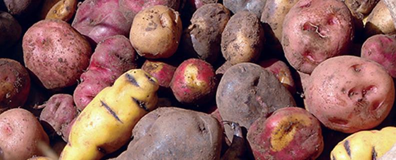 variété de tubercules andins