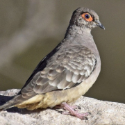 colombe-de-cecile-tortolita-boliviana