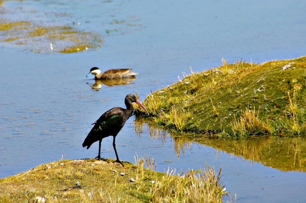 ibis de Ridgway-sarcelle de la puna-bofedales