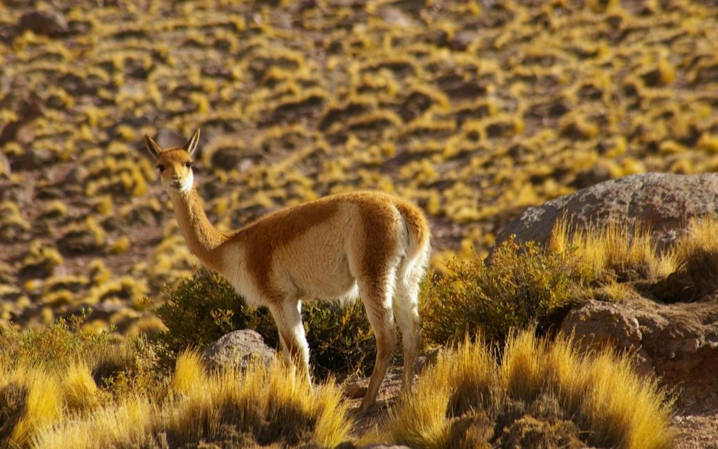vicuña-vigogne
